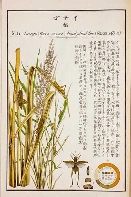 イナゴ(「農作物害虫図譜」)#17