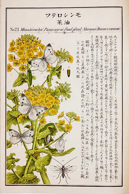 モンシロテフ(「農作物害虫図譜」名和靖 #21)