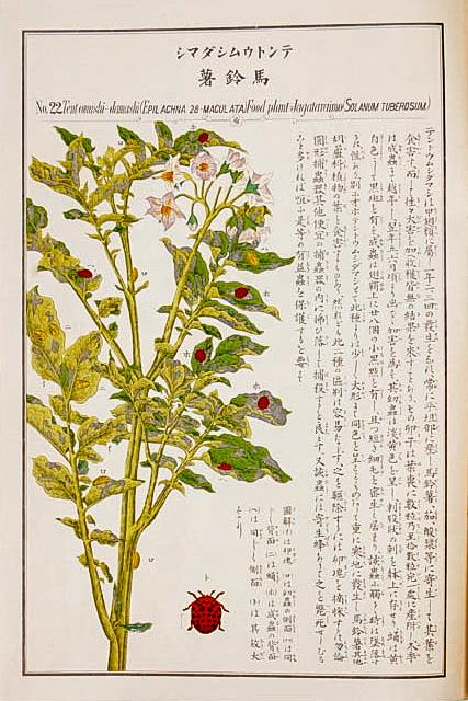 テントウムシダマシ(「農作物害虫図譜」名和靖)#22