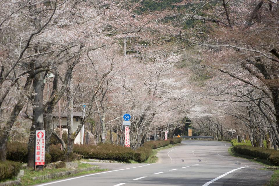寺尾ヶ原千本桜公園(2018年4月1日撮影)